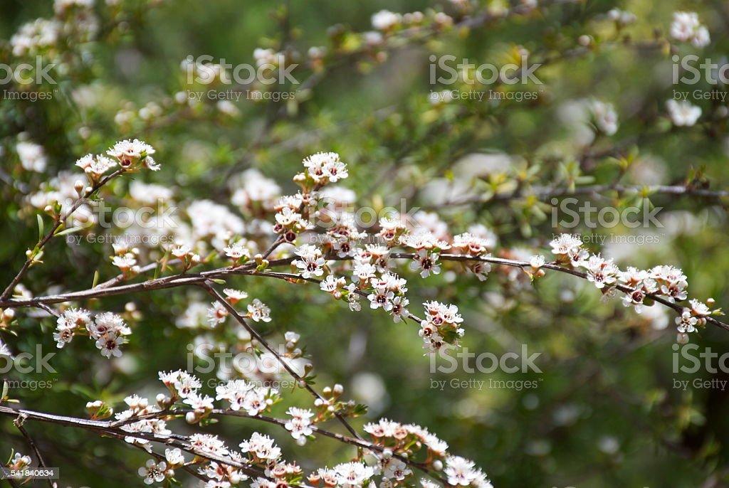 Kanuka (Kunzea ericoides) Tea Tree stock photo