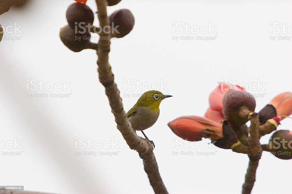 Kapok blossom ,a bird stock photo