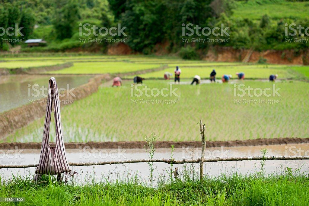 Karen People Planting Rice stock photo