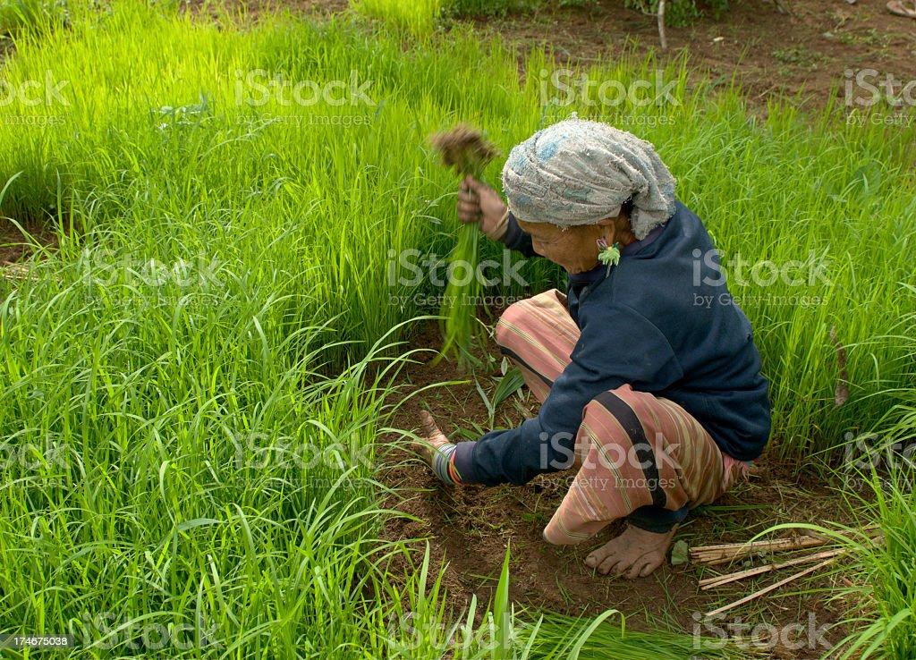 Karen Woman Transplanting Rice stock photo