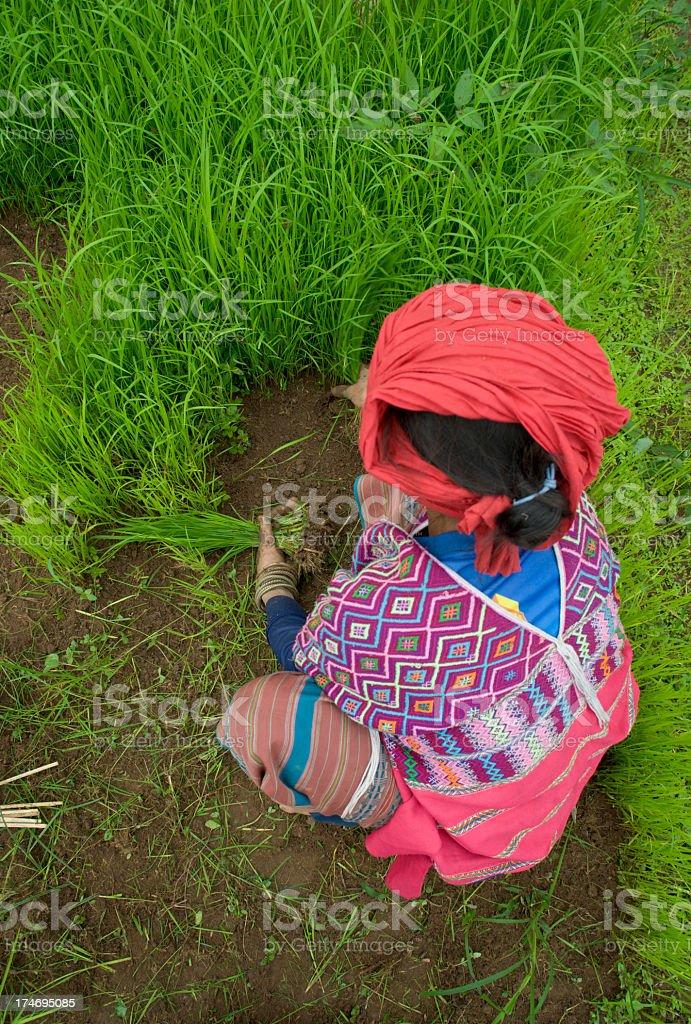 Karen Woman With Rice Seedlings stock photo
