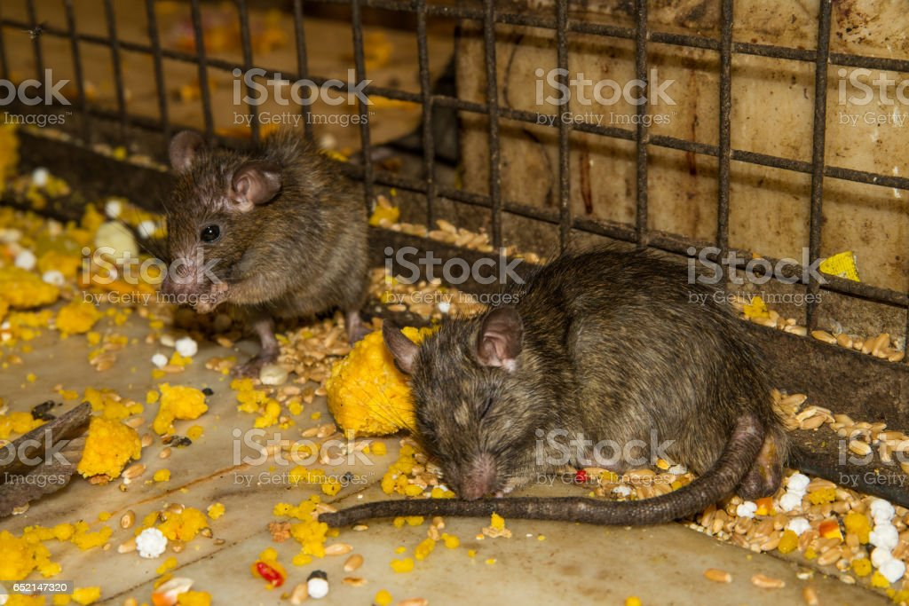 Karni mata rat temple in Rajasthan, India stock photo
