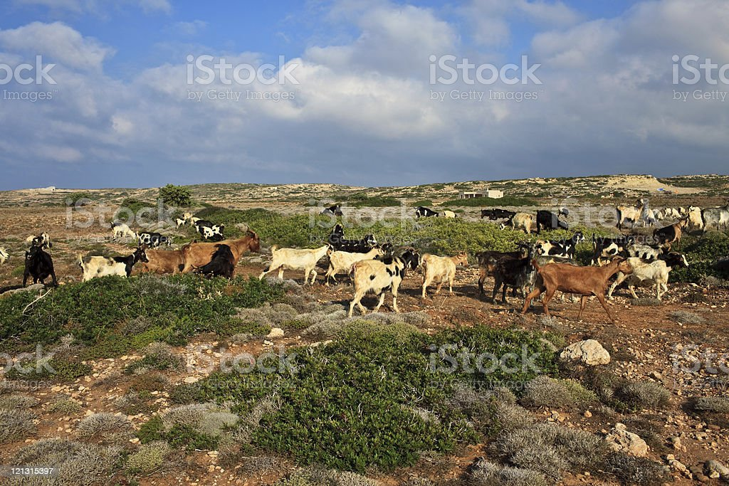Karpathos Goats stock photo