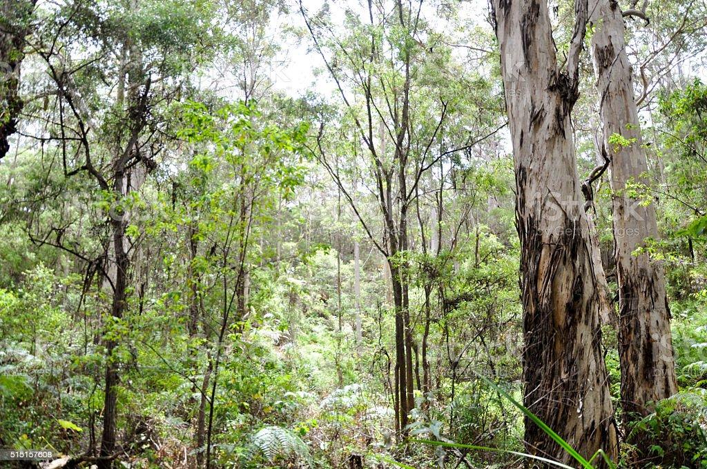 Karri and Marri Trees: Boranup Forest stock photo