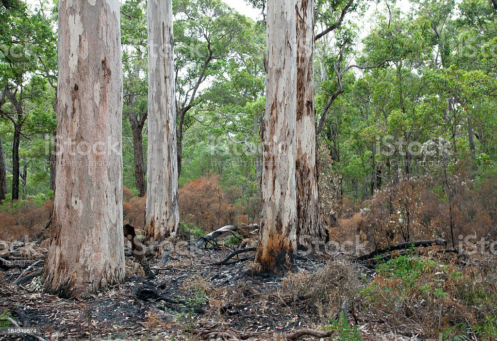 Karri forest in Western Australia with recent burn-off stock photo