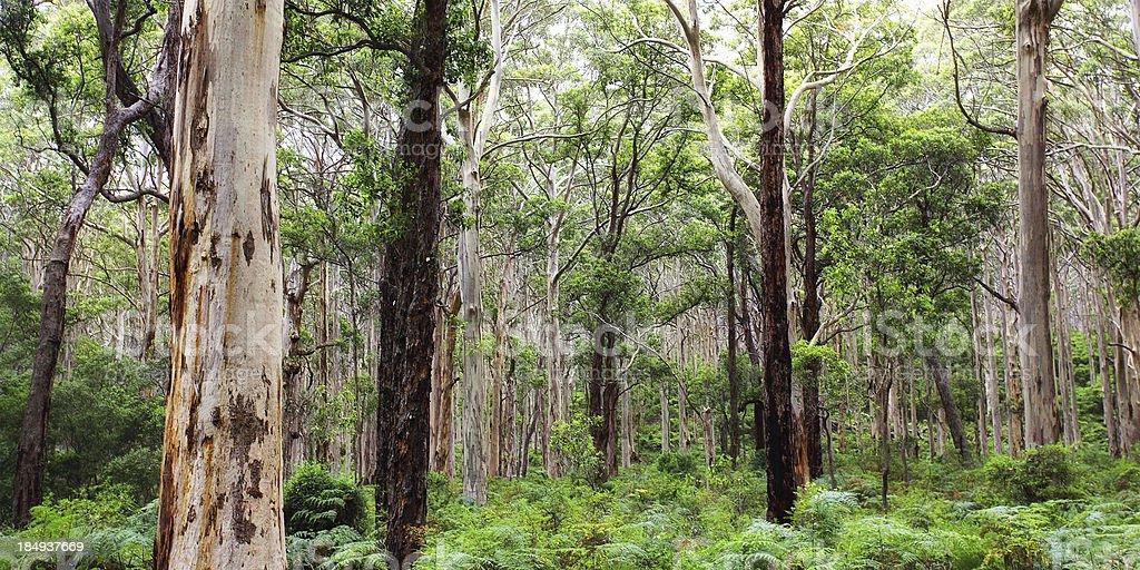 Karri forest near Margaret River, Australia stock photo