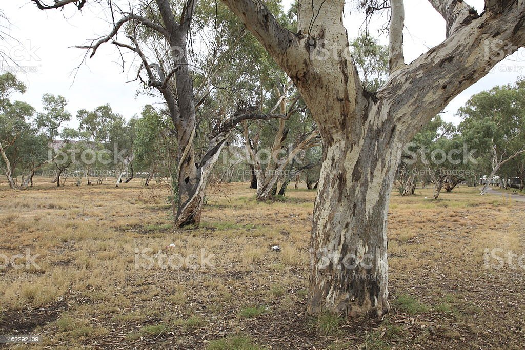 Karri Trees royalty-free stock photo