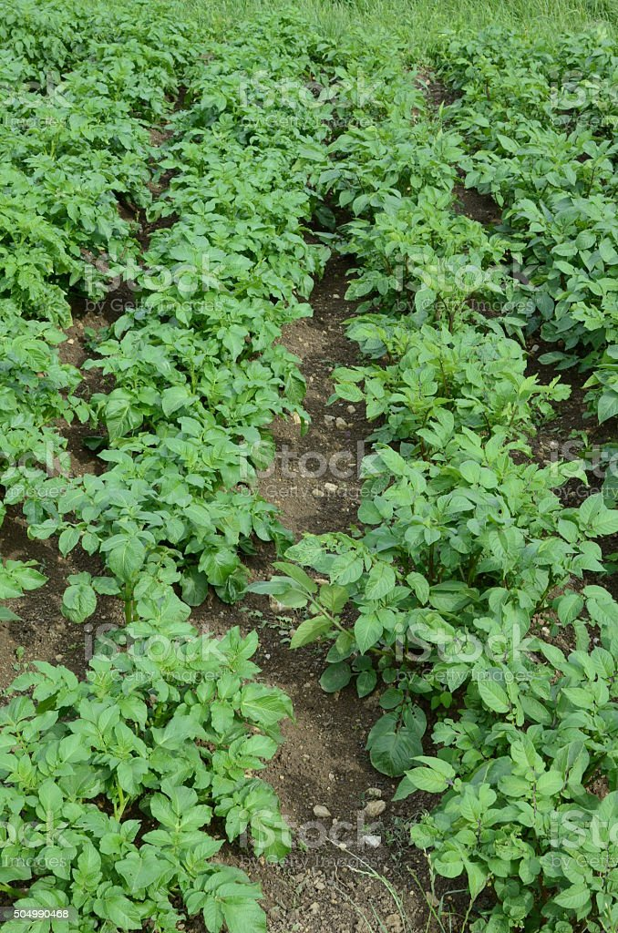 Kartoffelfeld stock photo