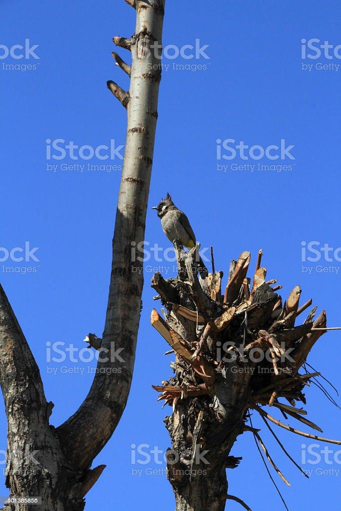 Kashmiri BulBul Bird stock photo