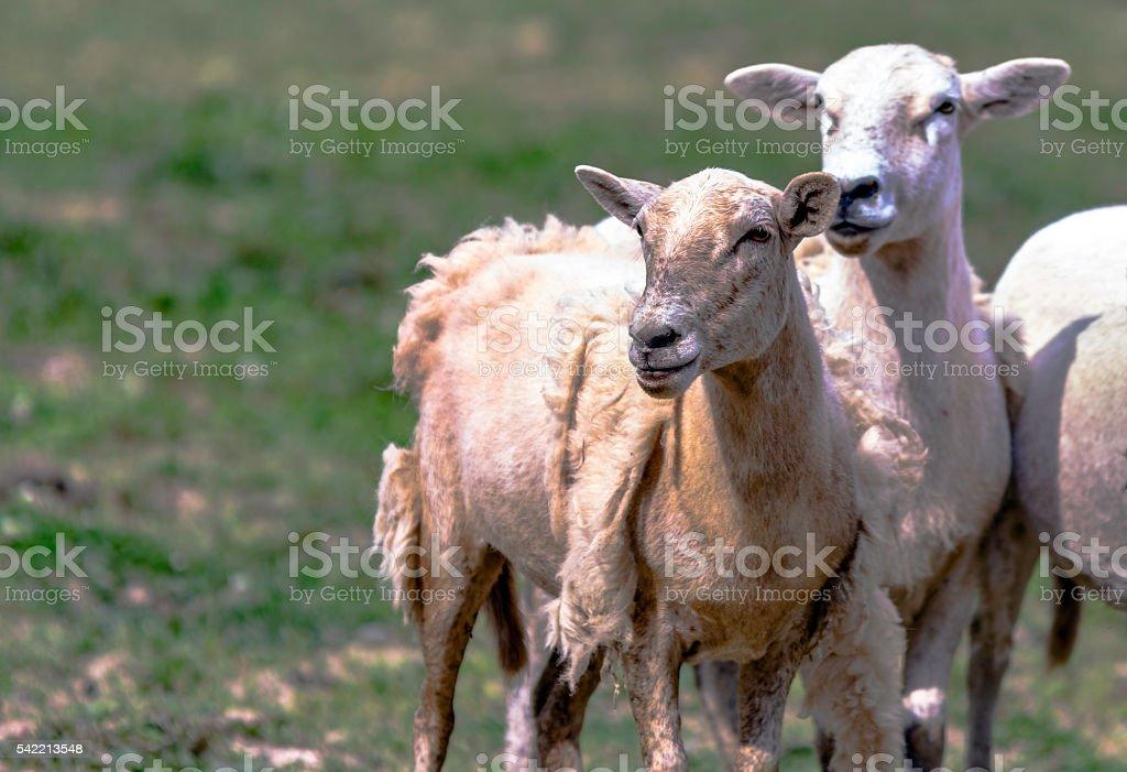 Katahdin Hair Sheep stock photo