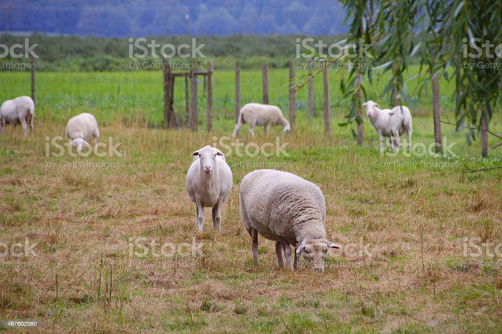 Katahdin Sheep Grazing stock photo