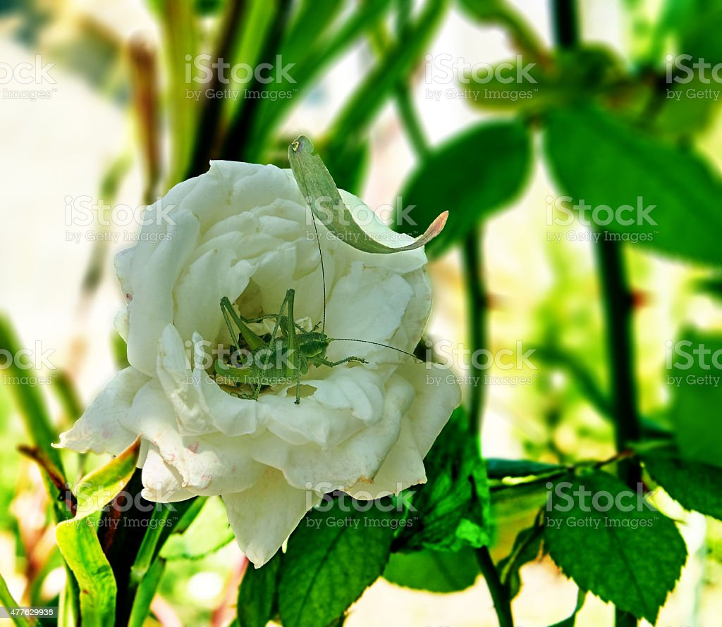 katydid and white rose royalty-free stock photo