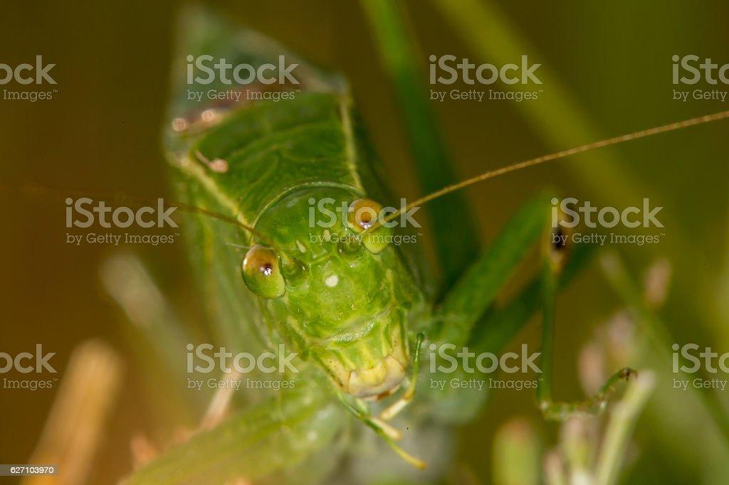Katydid face to face stock photo