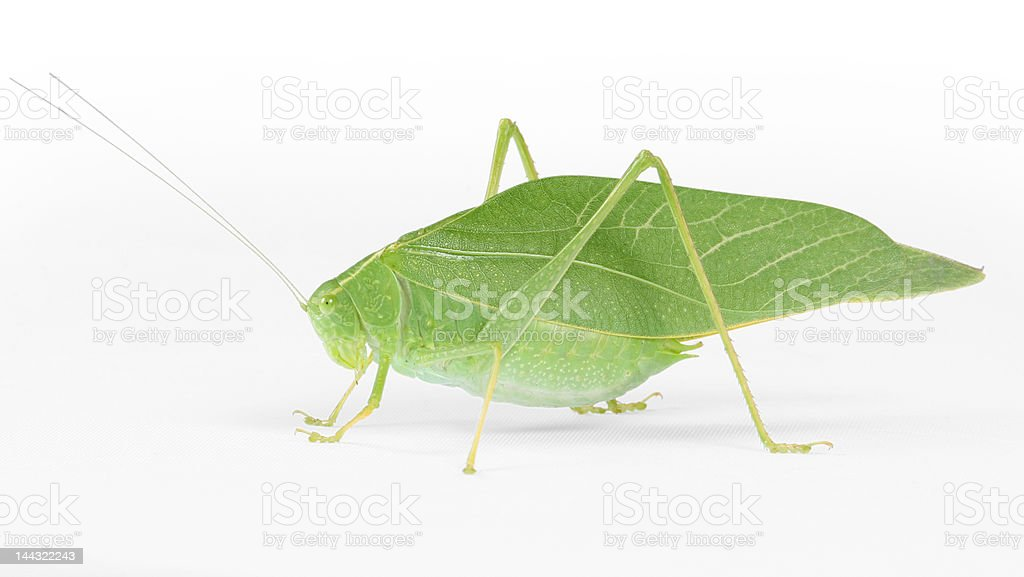 Katydid insect with clipping path around outside royalty-free stock photo