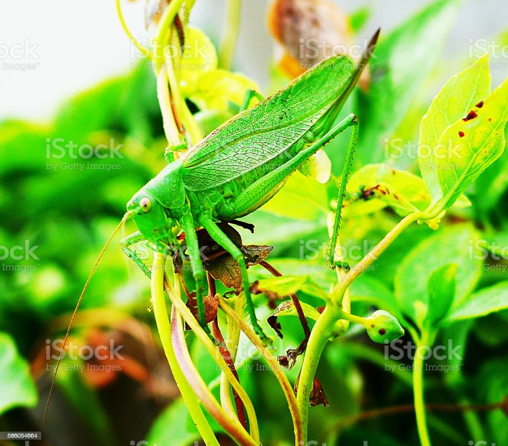 katydid is eggs stock photo