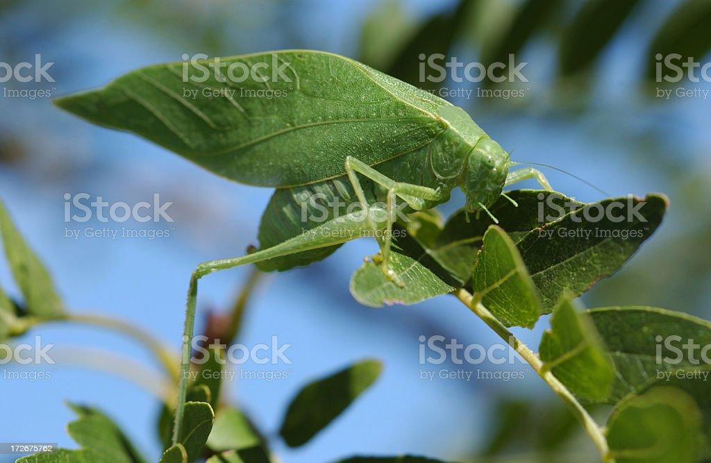 Katydid on a branch stock photo