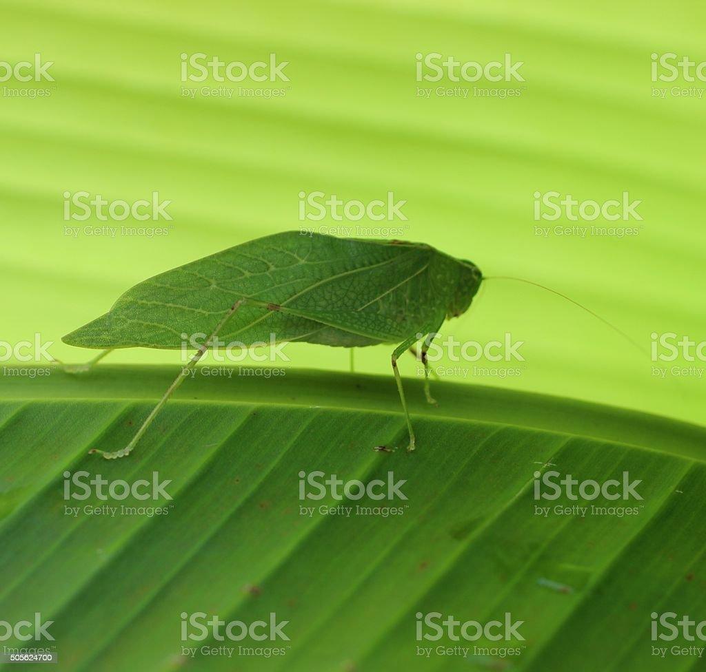 Katydid on Bananaleaf stock photo