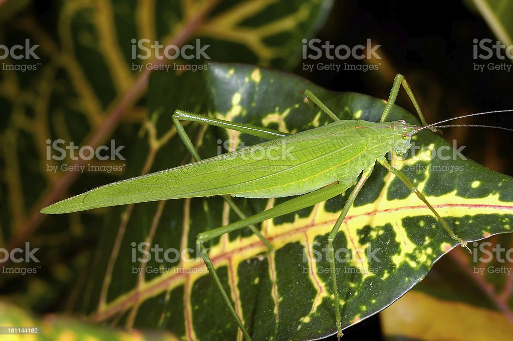 Katydid on Croton royalty-free stock photo