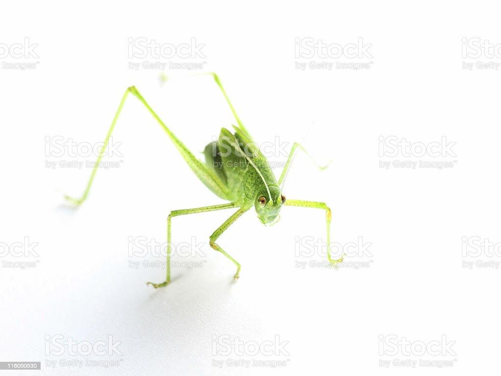Katydid on white stock photo
