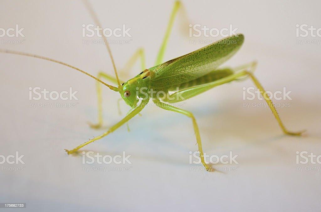 Katydid (Grasshopper Cricket) on White royalty-free stock photo