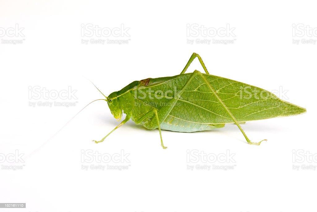 Katydid stock photo