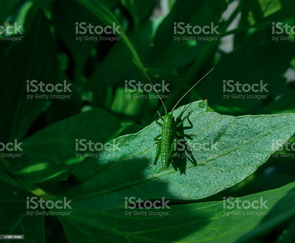 katydid royalty-free stock photo