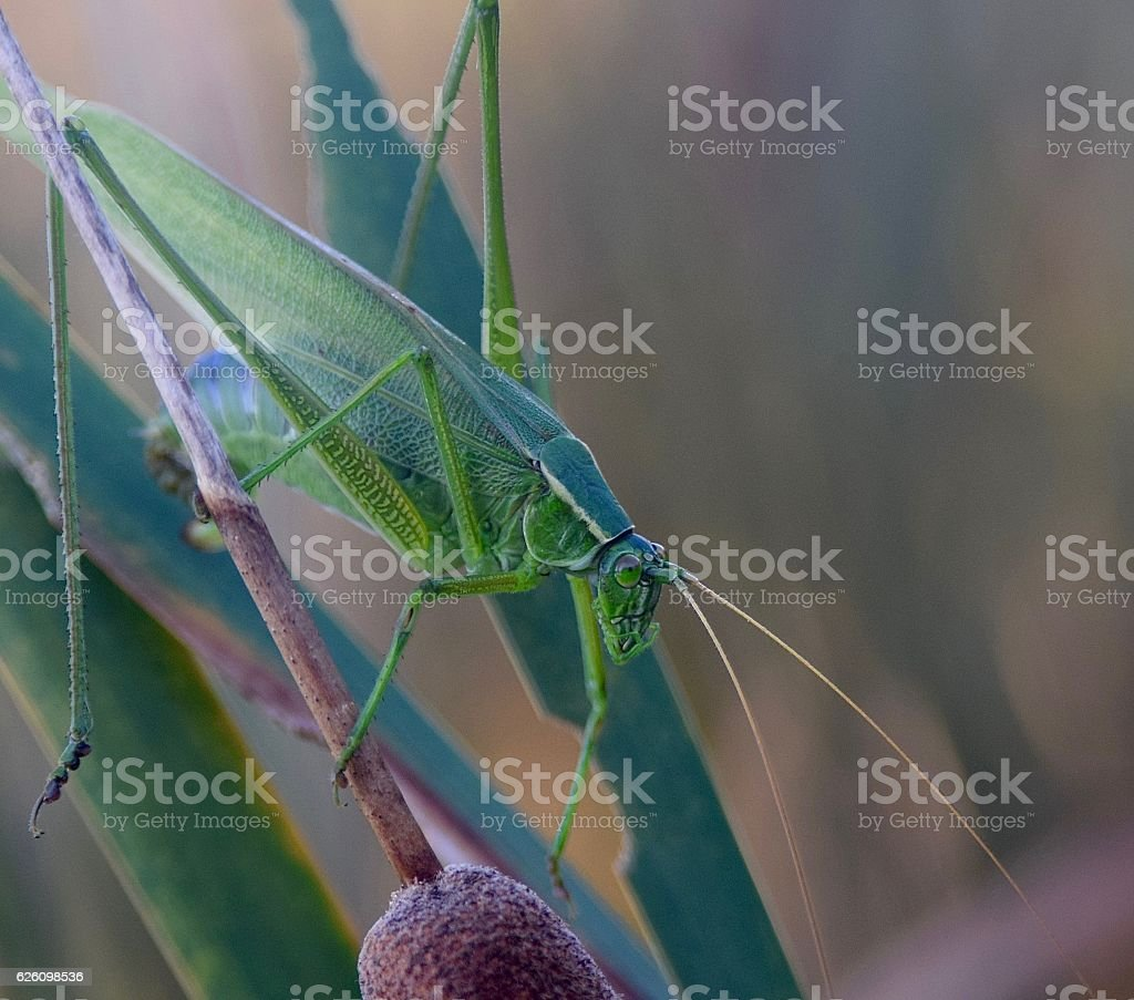 Katydid (1) stock photo