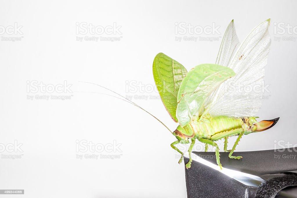 Katydids of Thailand stock photo