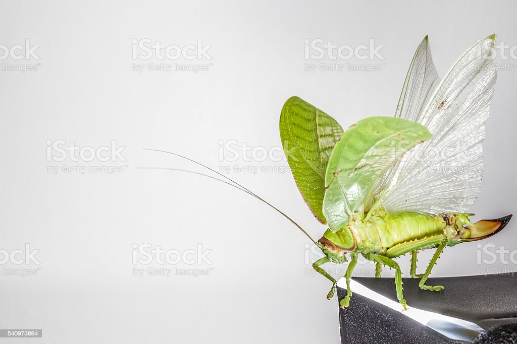 Katydids of Thailand stock photo