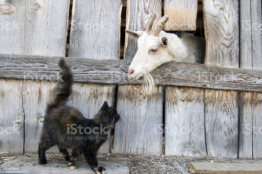 Katze und Ziege vor Holzwand stock photo