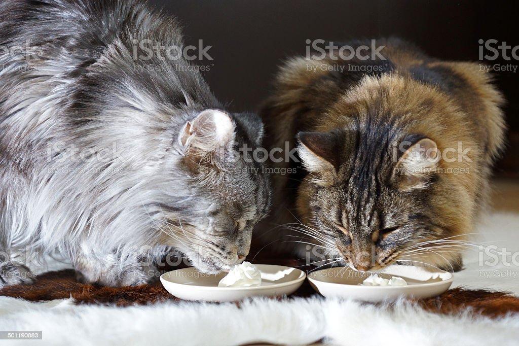 Katzen schlecken Sahne stock photo