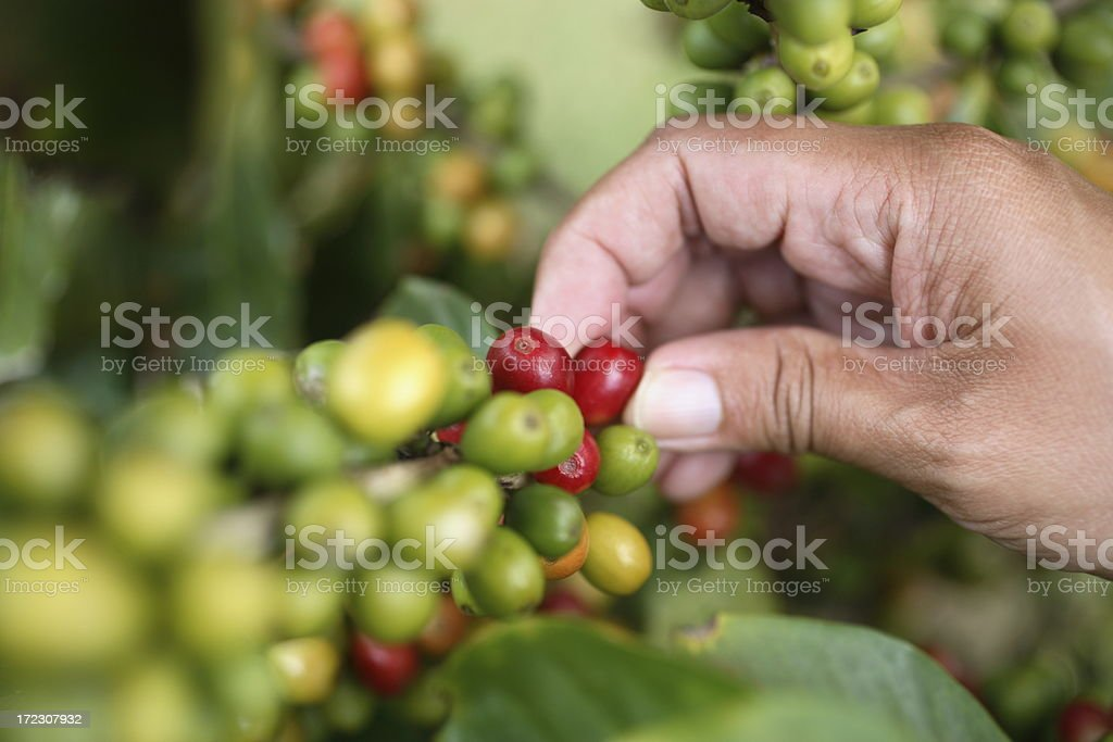 Kauai: Coffee Harvest stock photo