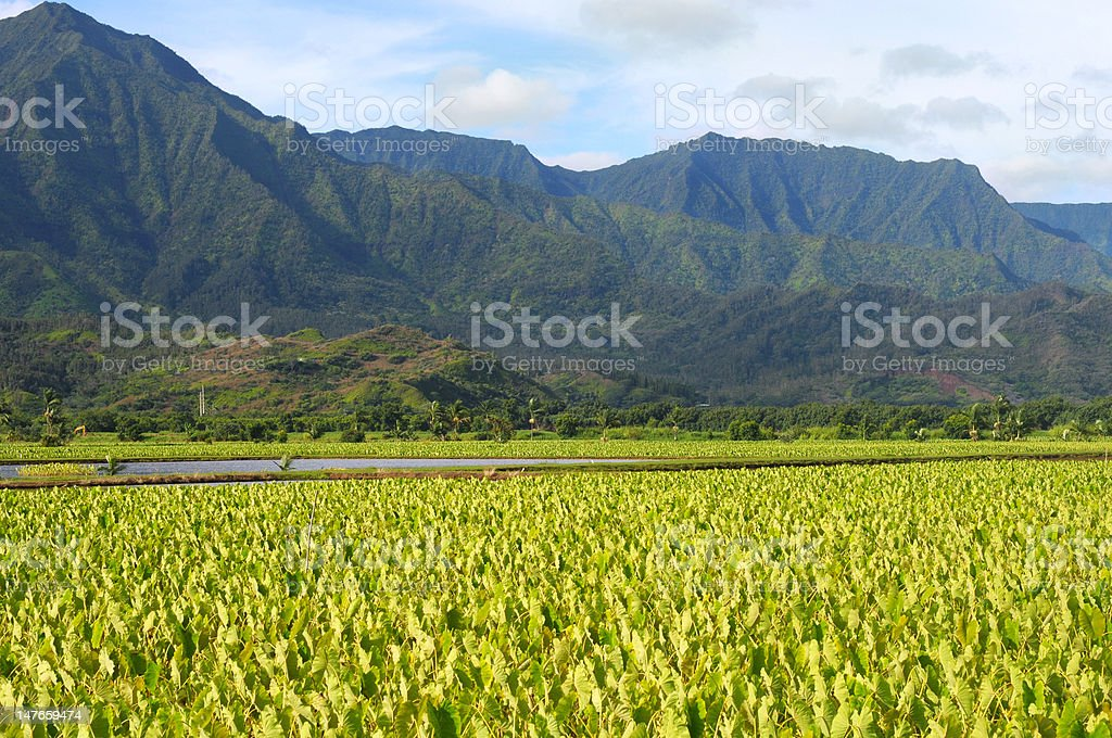 Kauai taro fields stock photo