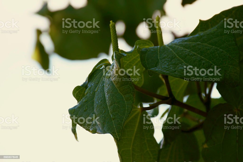 Kawakawa (Piper excelsum) stock photo