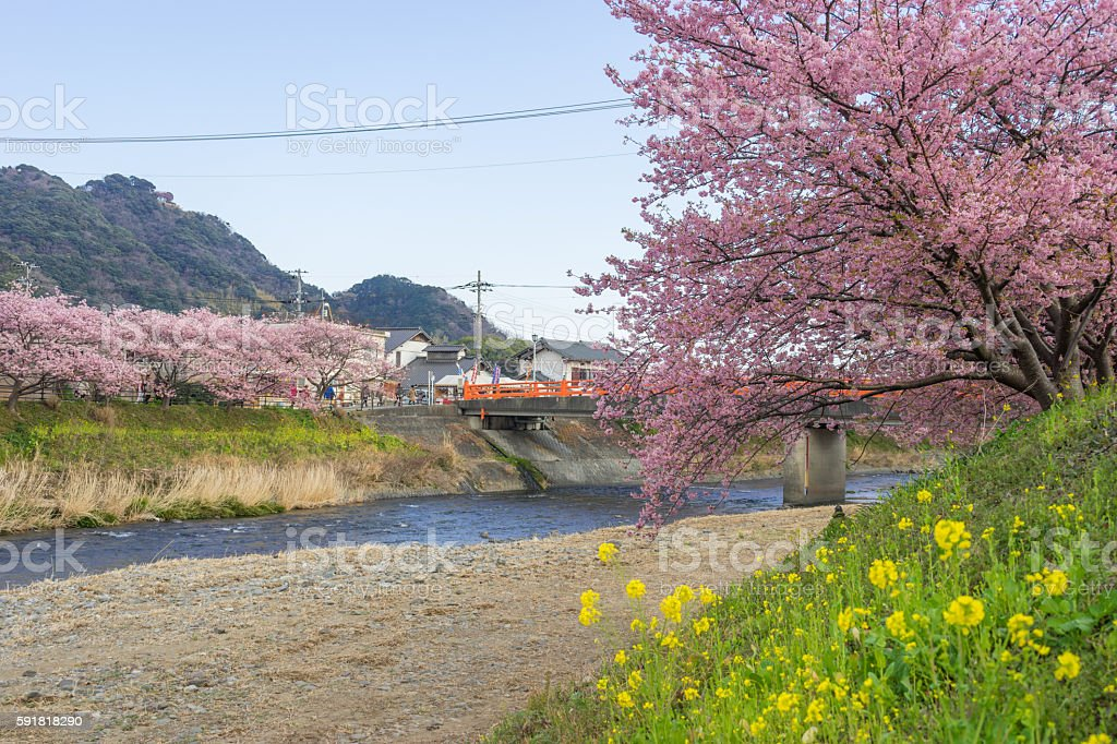 Kawazu cherry blossoms stock photo