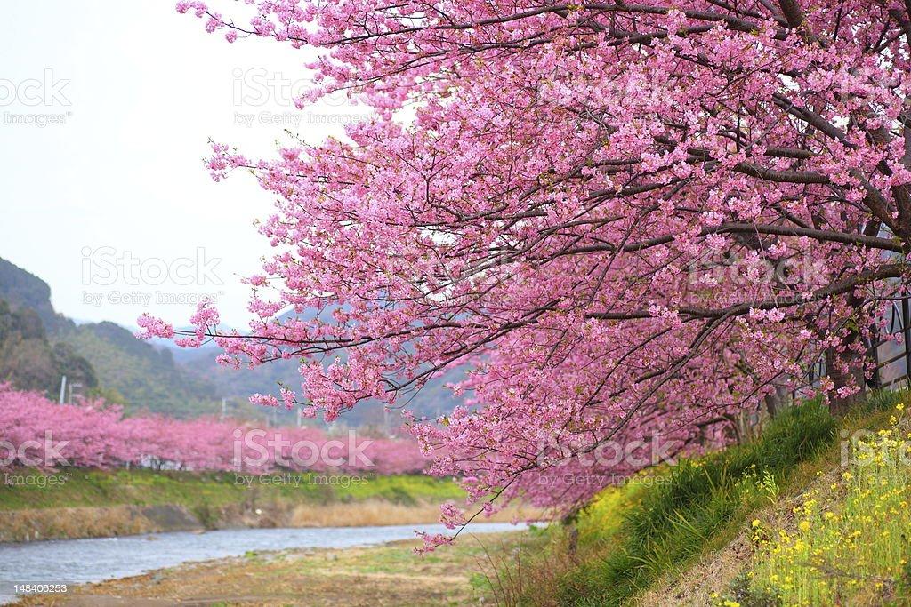 Kawazu cherry tree in shizuoka japan royalty-free stock photo