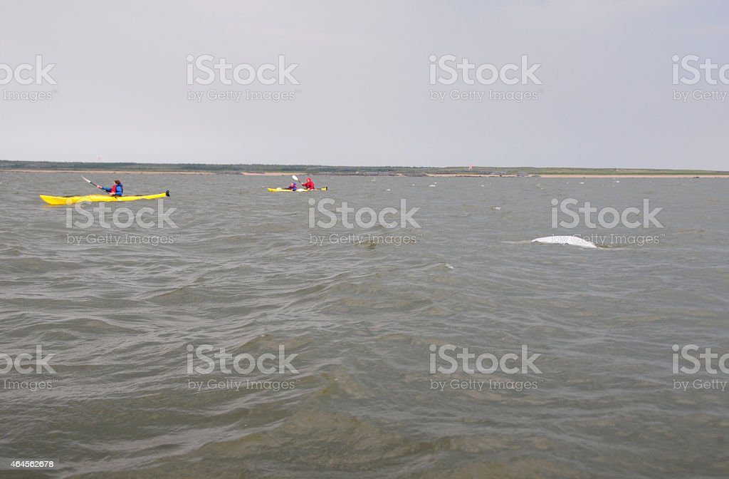 Kayaking with beluga whales in the Hudson Bay stock photo