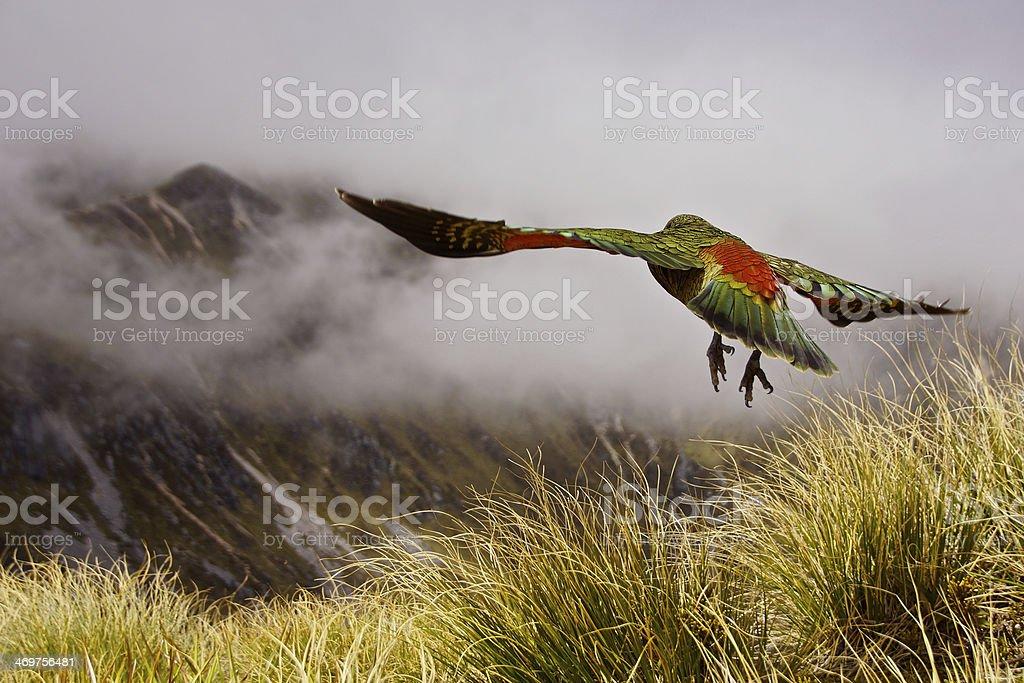 Kea Bird New Zealand stock photo