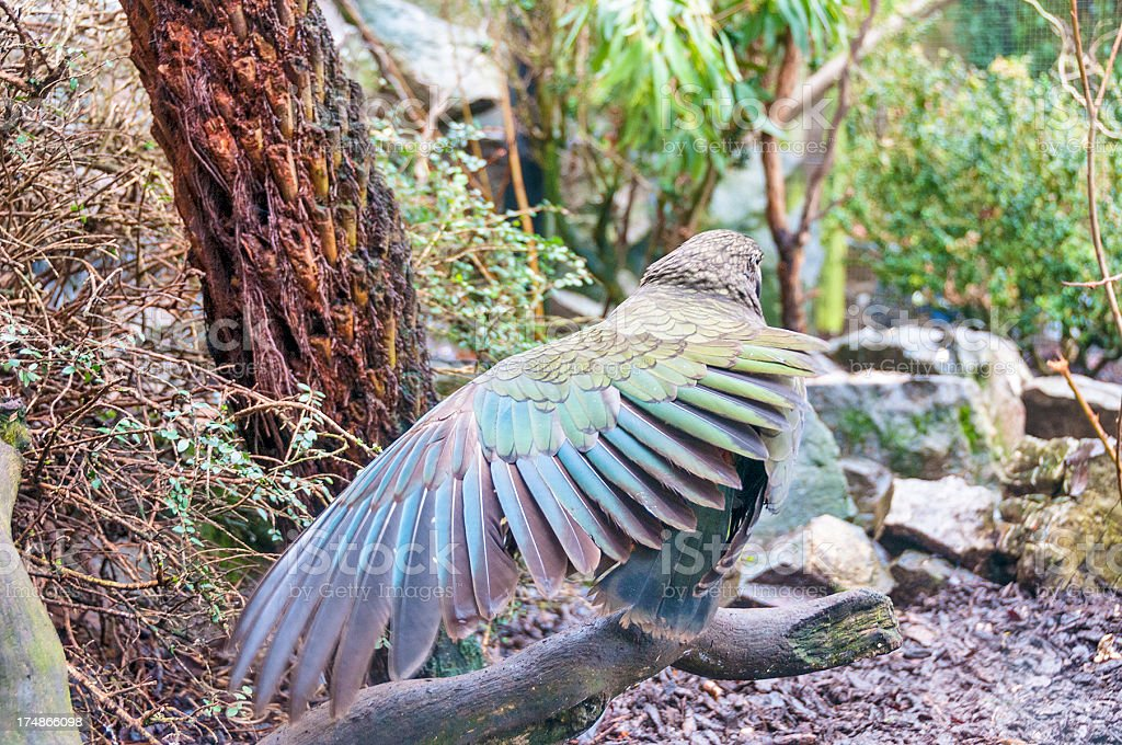 The Kea Bird Is A Large Species Of Parrot Found In New Zealand