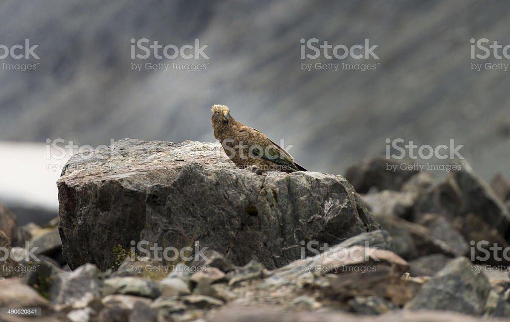 Kea in Hooker Valley (NZ) royalty-free stock photo