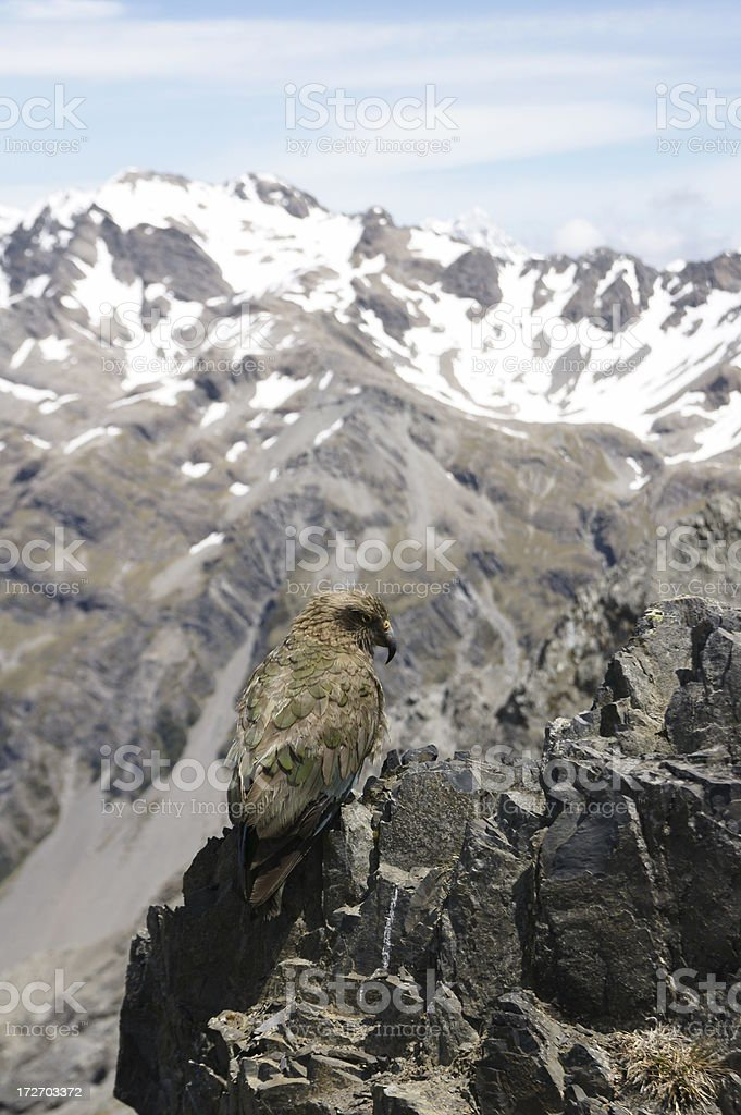 Kea in the Southern Alps, New Zealand stock photo