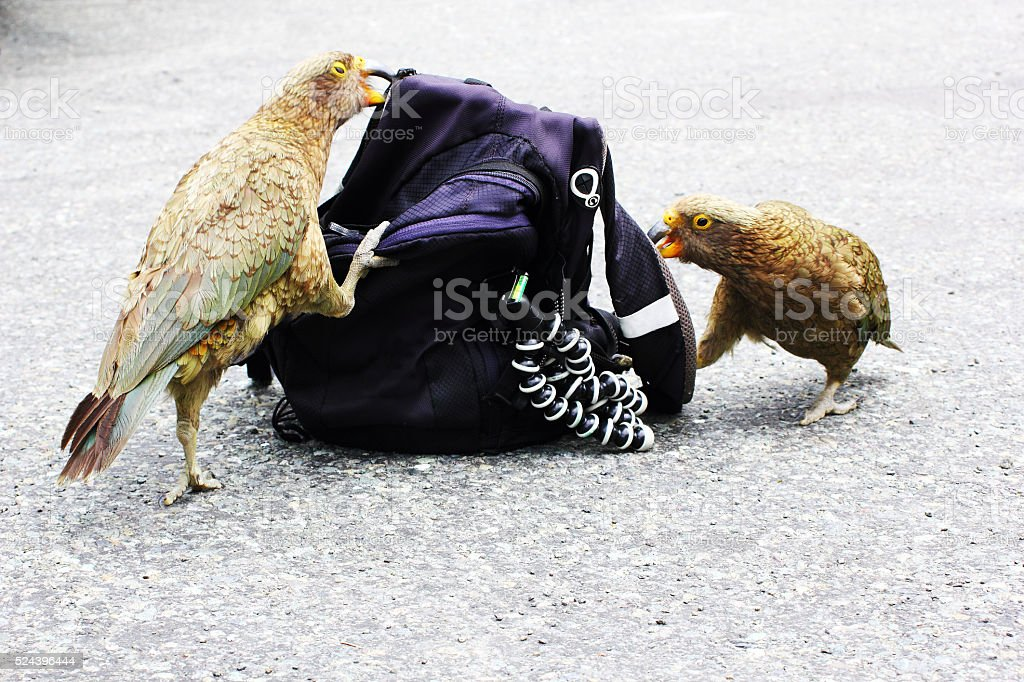 Kea Parrots trying to open Backpack, Milford Sound, New Zealand stock photo