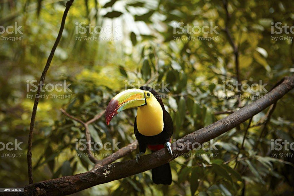 Keel Billed Toucan stock photo