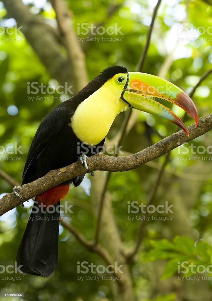 Keel-billed Toucan royalty-free stock photo