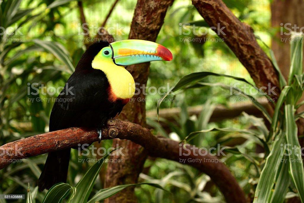 Keel-billed Toucan stock photo