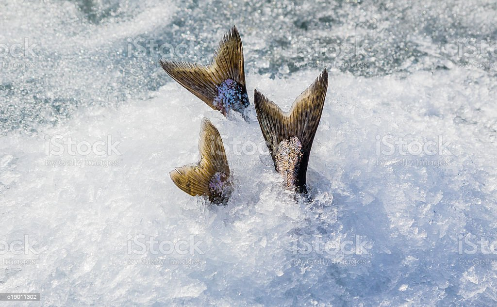 Keeping Chinook salmon cool while ice fishing stock photo