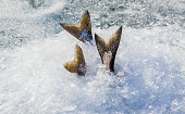 Keeping Chinook salmon cool while ice fishing