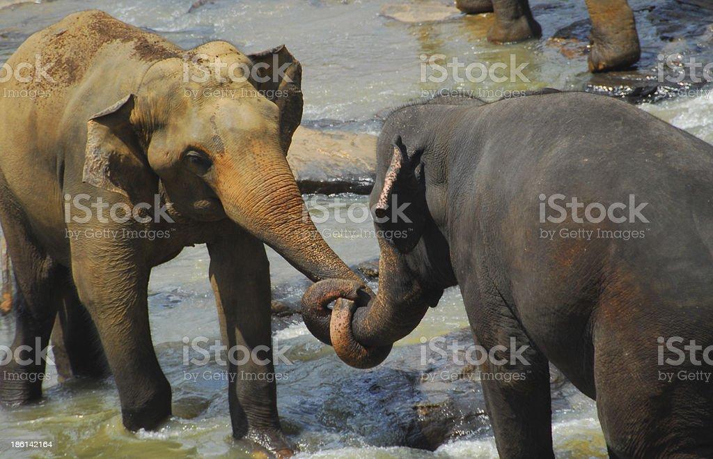 Kegalle, Sri Lanka: elephants staging a fight stock photo