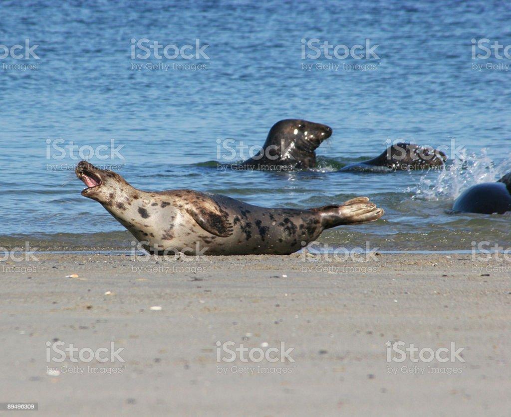 Kegelrobben am Strand von Helgoland Düne stock photo