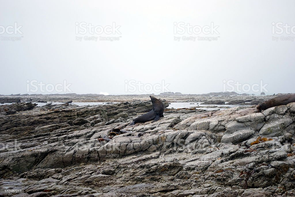 Kekeno (The New Zealand Fur Seal) stock photo